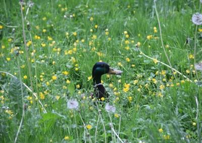 Утки маскируются в высокой траве
